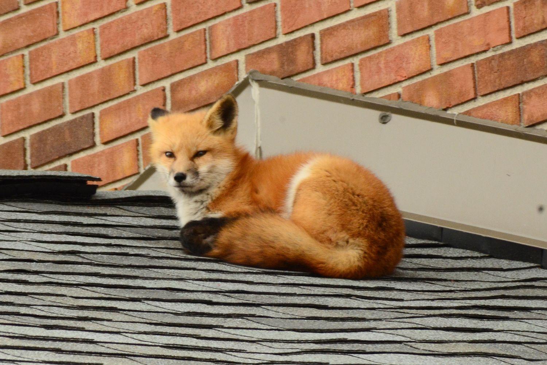 Wildtiere in der Stadt: ein Fuchs hat es sich auf einem Dach gemütlich gemacht